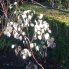 Honesty (lunaria annua) in the winter sun - Ballymaloe Cookery School