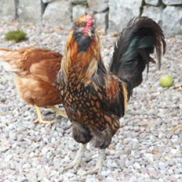 Happy Hens at Ballymaloe Cookery School