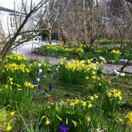 Daffodils, The Ornamental Fruit Garden - Ballymaloe Cookery School