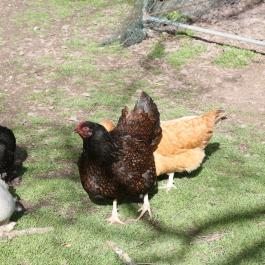 Hens enjoying sunshine at Ballymaloe Cookery chool