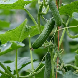 Cucumbers on the vine  at Ballymaloe Cookery School