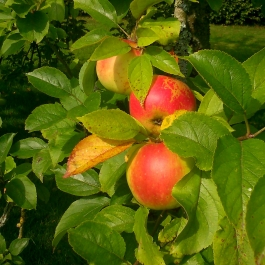 Apple Trees in The Memory Arboretum - Ballymaloe Cookery School