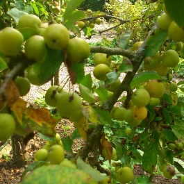 Crab Apples - Ballymaloe Cookery School