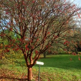 Acer griseum (Paperback maple) in The Old Pleasure Garden - Ballymaloe Cookery School