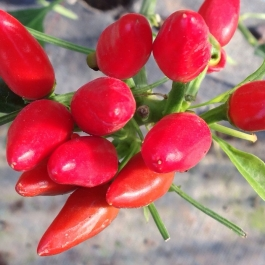 Chilli peppers in the glasshouses - Ballymaloe Cookery School