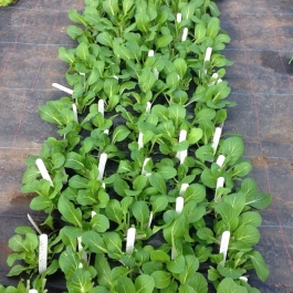 Pakchoi grown indoors by the cookery school students - Ballymaloe Cookery School