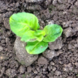 Our first organic potatoes are well on their way - Ballymaloe Cookery School