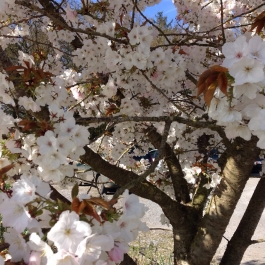 Magnificant Cherry Blossom in the car park - Ballymaloe Cookery School