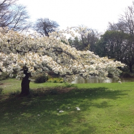 Our Japanese White Cherry Blossom looking spectacular by the pond - Ballymaloe Cookery School