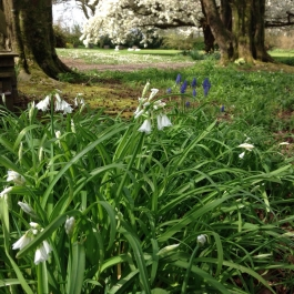 Wild Garlic (Three Cornered Leek) and Bluebells with Cherry Blossom in background in Wilson's Wood - Ballymaloe Cookery School