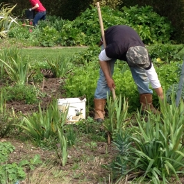 Aidan busy with weeding and staking perennials in the herbaceous borders - Ballymaloe Cookery School