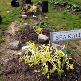 Delicious blanched Sea Kale is being harvested and enjoyed by the student in the school - Ballymaloe Cookery School