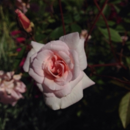 Pretty in pink - Rosa 'Cecile Brunner' in Lydia's Garden - Ballymaloe Cookery School
