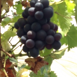 Sweet dessert grapes in the glasshouses - Ballymaloe Cookery School
