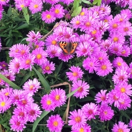 Asters are a favourite for butterflies - Ballymaloe Cookery School