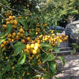 Malus Golden Hornet Crab Apples in the Ornamental Fruit Garden - Ballymaloe Cookery School
