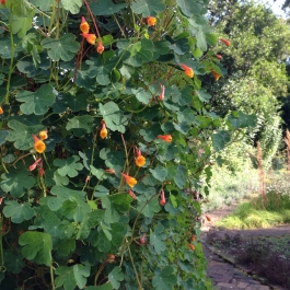 Tropaeolum tuberosum (climbing Nasturtium) in flower in the Kitchen Garden - Ballymaloe Cookery School