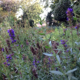 Hyssopus officinalis (Hyssop herb) in the Kitchen Garden - Ballymaloe Cookery School