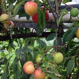 Plum 'Lizzie' in the glasshouses - Ballymaloe Cookery School