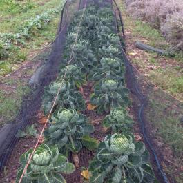 Lots of Brussels Sprouts for Christmas - Ballymaloe Cookery School