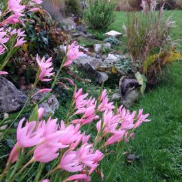 Pink Kaffir lily (Schizostylis) in the Water Garden - Ballymaloe Cookery School