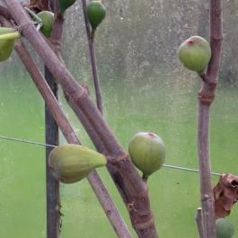 Delicious figs ready for harvesting in the glasshouses - Ballymaloe Cookery School