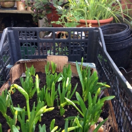 Narcissus Tete-a-Tete planted indoors will be potted up for display at the cookery school - Ballymaloe Cookery School