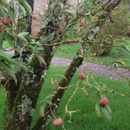 Fruit of the Cornus capitata (Himalayan Strawberry Tree) in the Old Pleasure Garden - Ballymaloe Cookery School