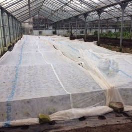 Lettuce under fleece protection in the glasshouses - Ballymaloe Cookery School