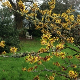 Hamamelis mollis (with hazel) lights up the Old Pleasure Garden - Ballymaloe Cookery School