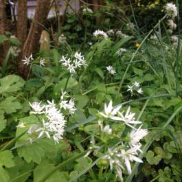 Wild Garlic 'Allium ursinum' or Ramsons used to make pesto - Ballymaloe Cookery School