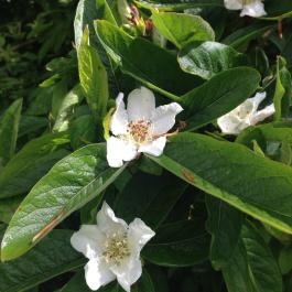 Large blossoms on the medlar tree in the Old Pleasure Garden - Ballymaloe Cookery School