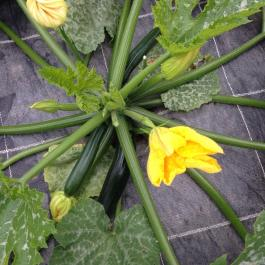 The courgettes are multiplying in the glasshouses - Ballymaloe Cookery School