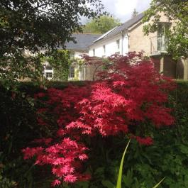 Vivid colour from the Japanese Maple in Lydia's Garden - Ballymaloe Cookery School