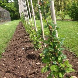 Gooseberries trained to grow as standards in the Soft Fruit area - Ballymaloe Cookery School