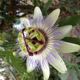 Ballymaloe Cookery School Glasshouse Passion Fruit Flower
