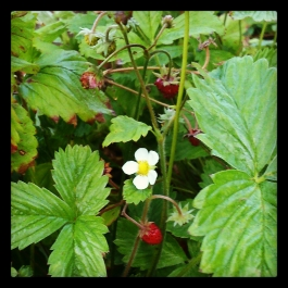 Wild Strawberries - Foraging for Edible Wild Foods with Emer Fitzgerald