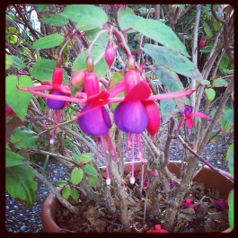 Red Fuschia - Foraging for Edible Wild Foods with Emer Fitzgerald