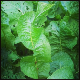 Horseradish, not to be confused with Dockleaf - Foraging for Edible Wild Foods with Emer Fitzgerald