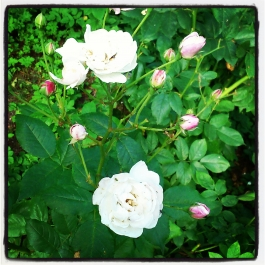 Roses - Foraging for Edible Wild Foods with Emer Fitzgerald