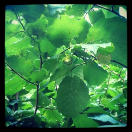 Hazel - can you spot the hazelnut? - Foraging for Edible Wild Foods with Emer Fitzgerald