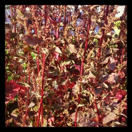 Red Orach - Foraging for Edible Wild Foods with Emer Fitzgerald