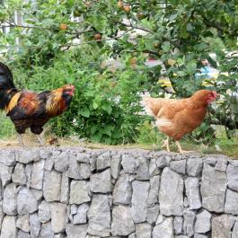 Hens at Ballymaloe Cookery School