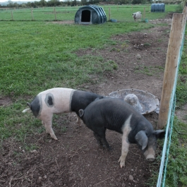 Piglets playing on Ballymaloe Cookery School Farm