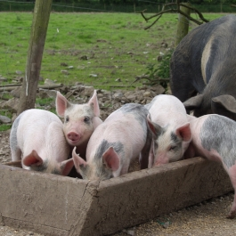 Piglets in their dinner at Ballymaloe Cookery School Farm