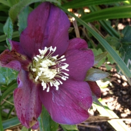 Hellebore in Ballymaloe Cookery School Gardens