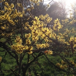 Hamamelis mollis at Ballymaloe Cookery School Gardens