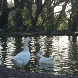 Geese standing guard at  Ballymaloe Cookery School Gardens