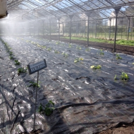Young courgette plants being watered in the glasshouse