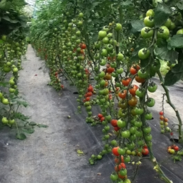 Cherry tomatoes ripening in the Glasshouse.